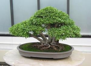 bonsay-doglyad-v-domashnh-umovah_661